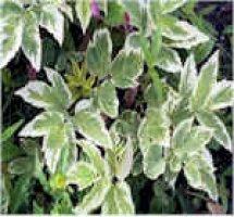 aegopodium-podagraria-var-variegatum-kirjovuohenputki
