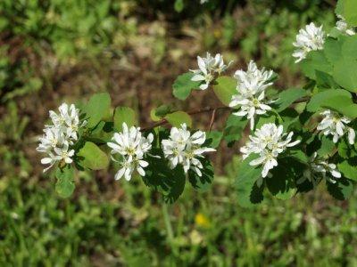 Amelanchier alnifolia 27