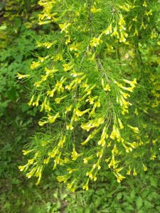 caragana-arborescens-siperianhernepensas