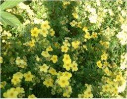 dasiphora-fruticosa-tervola-pensashankikki