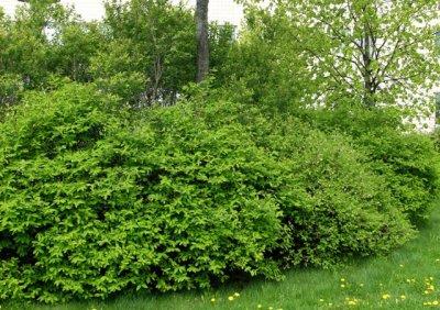 lonicera-caerulea-jorgen-sinikuusama