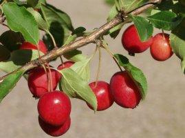 malus-paratiisinomenapuu-omenapuu