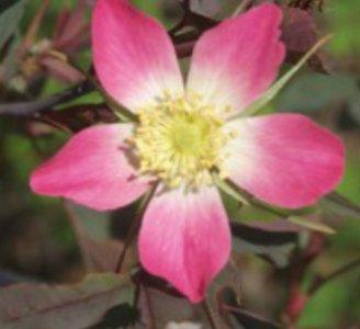 punalehtiruusu1