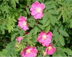 rosa-kempeleen-kaunotar-kempeleenruusu