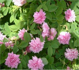 rosa-majalis-tornedal-tornionlaaksonruusu