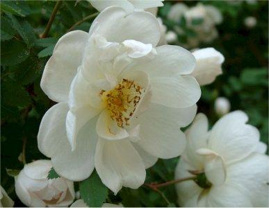 rosa-pimpinellifolia-plena-juhannusruusu
